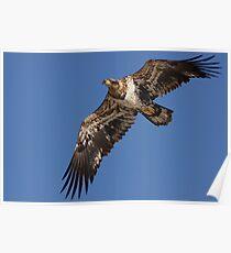 Immature Bald Eagle Poster