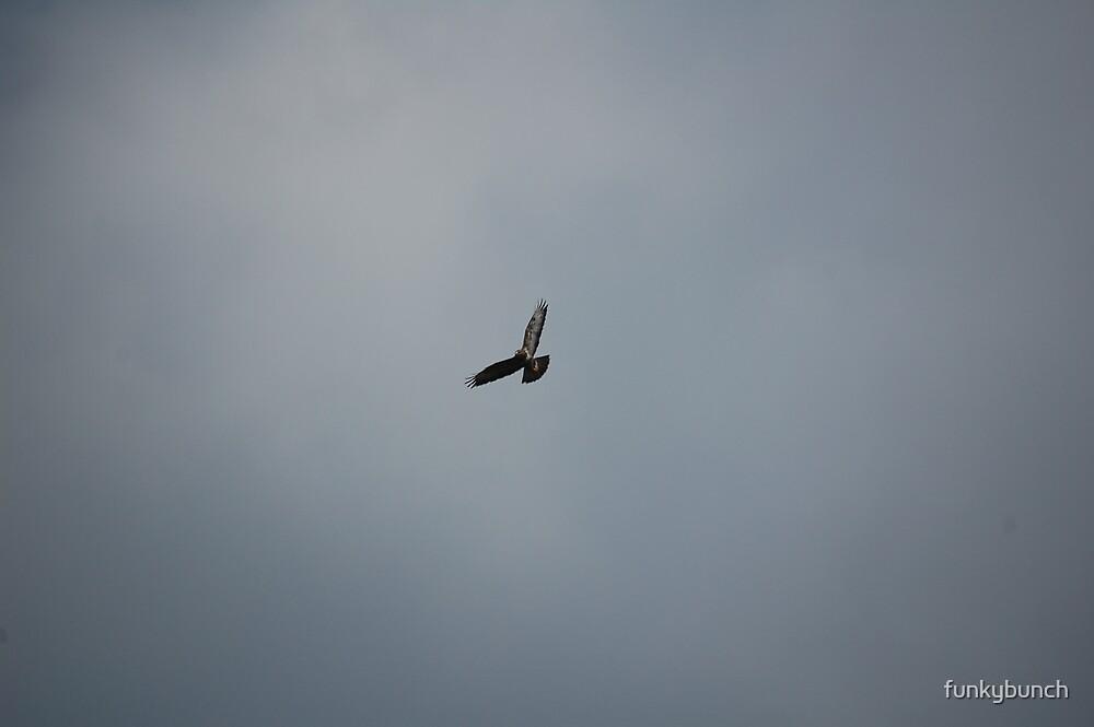 buzzard in flight by funkybunch