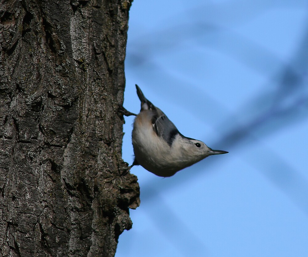 White-breasted Nuthatch by Dave Law