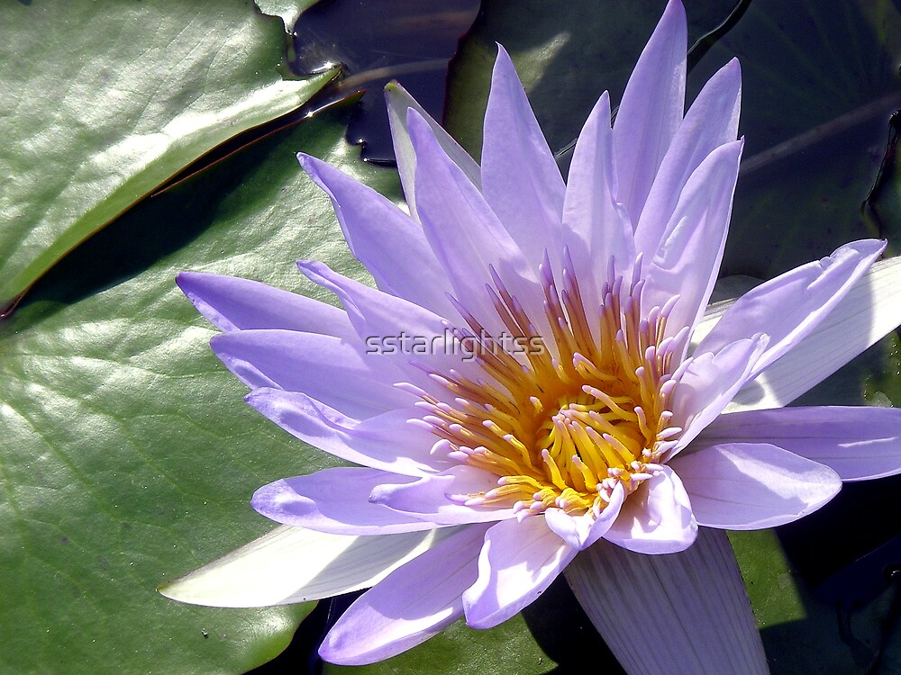 Waterlily - close-up by sstarlightss