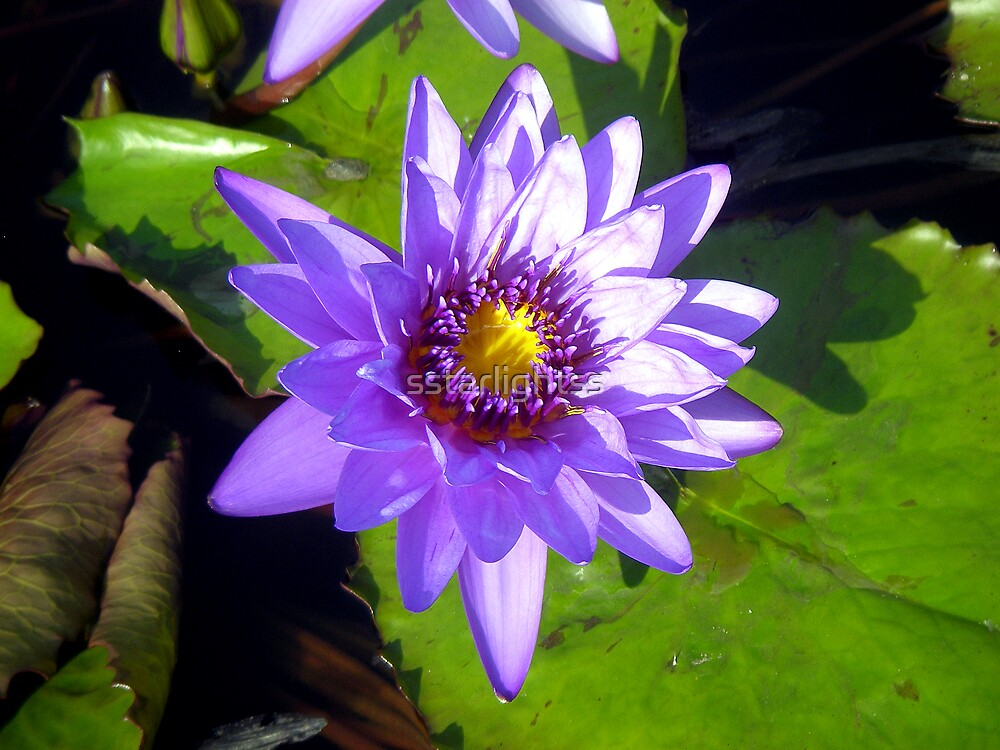 Purple water lily by sstarlightss