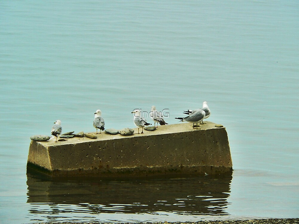 Gulls at rest by CindyG