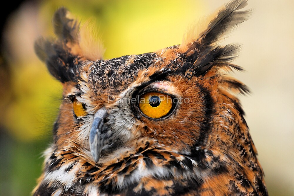 Great Horned Owl by PamelaJoPhoto