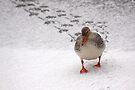 Mallard in the Snow by Jo Nijenhuis