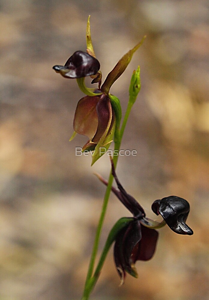 Flying Duck Orchid Duo - Morwell NP by Bev Pascoe