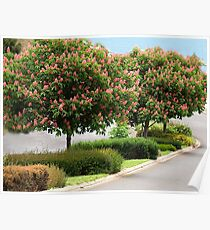 Red Horse Chestnut Trees - Warragul, Gippsland Poster