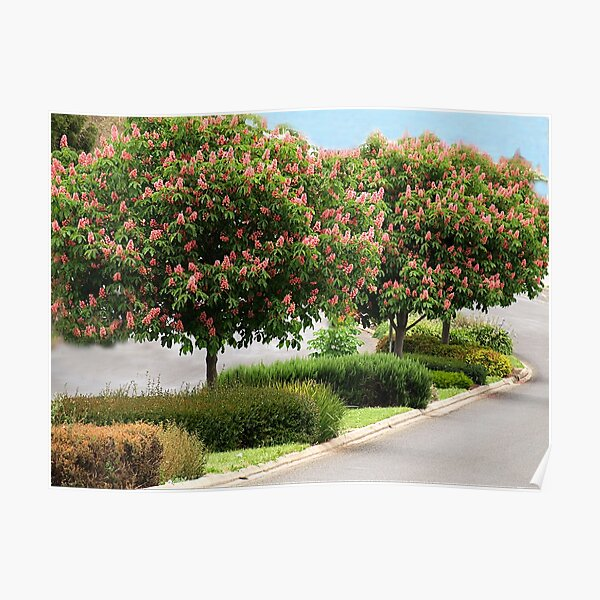 Red Horse Chestnut Trees - Warragul, Gippsland Poster