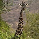 Maasai Giraffe - Manyara Mahogany Forest, Tanzania by Bev Pascoe