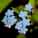 Forget-me-not flowers by hummingbirds