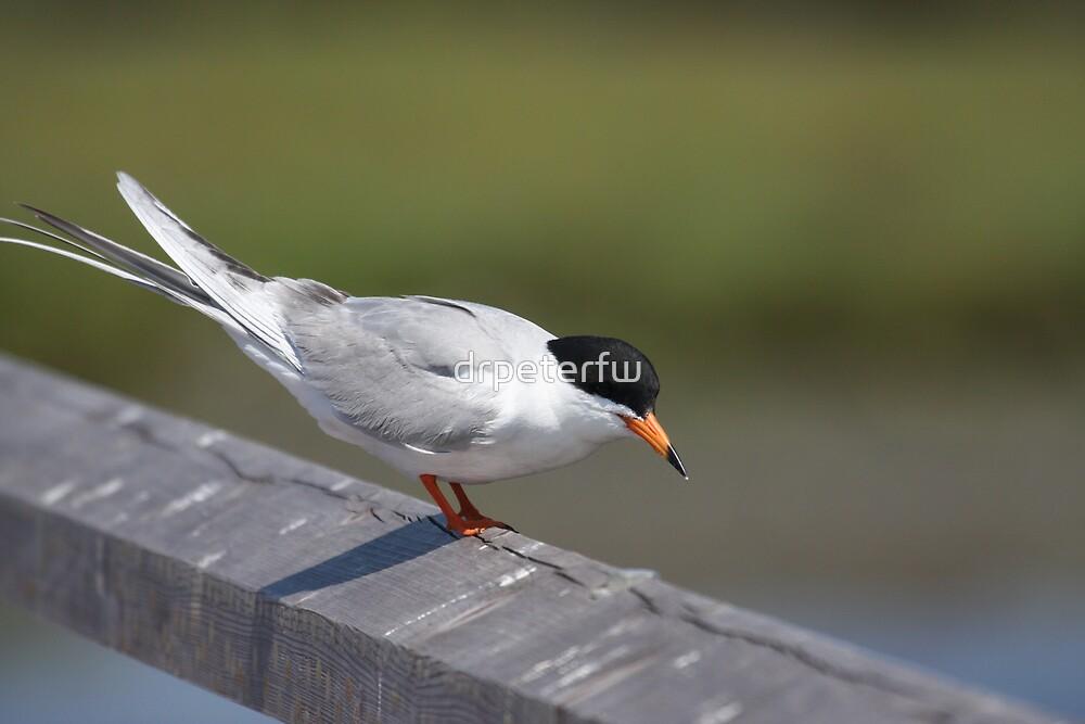 Tern at HB wetlands by drpeterfw