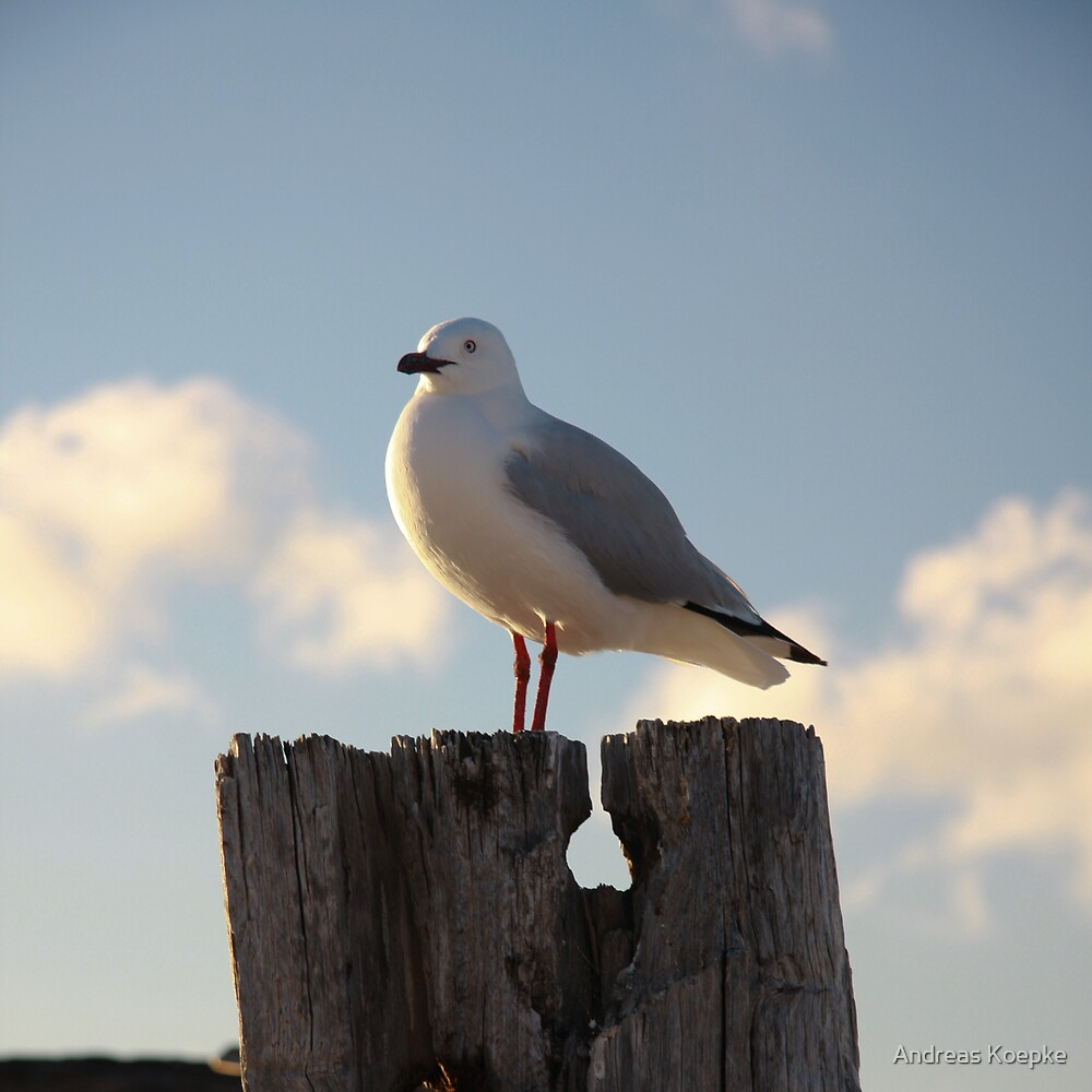 Seagull by Andreas Koepke