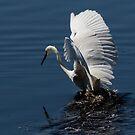 Little Egret at Bibra Lake, W.A. by Sandra Chung