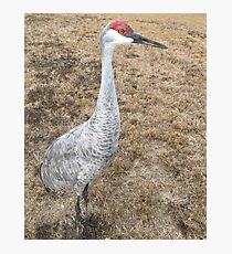 Sand Hill Crane (Hen) Photographic Print