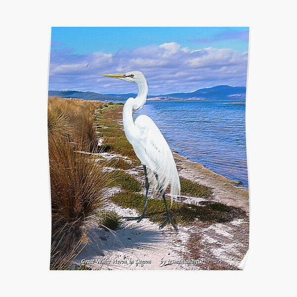 GALLIMAUFRY ~ JUST PHOTOS ~ SCENES & SCENERY ~ D1G1TAL-M00DZ ~ Great White Heron in Lagoon by tasmanianartist Poster