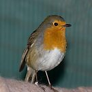 The Resident Robin by Tawny