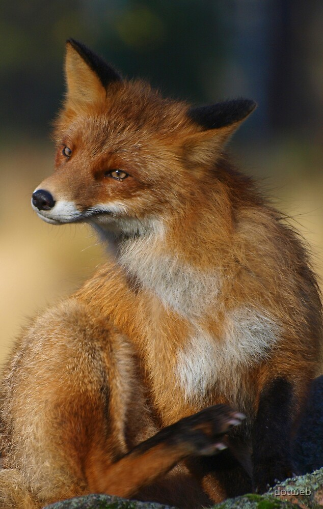 The Red Fox by dotweb