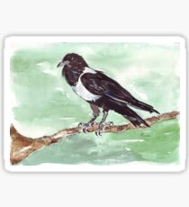 Domino, the Pied Crow (Corvus albus) Sticker