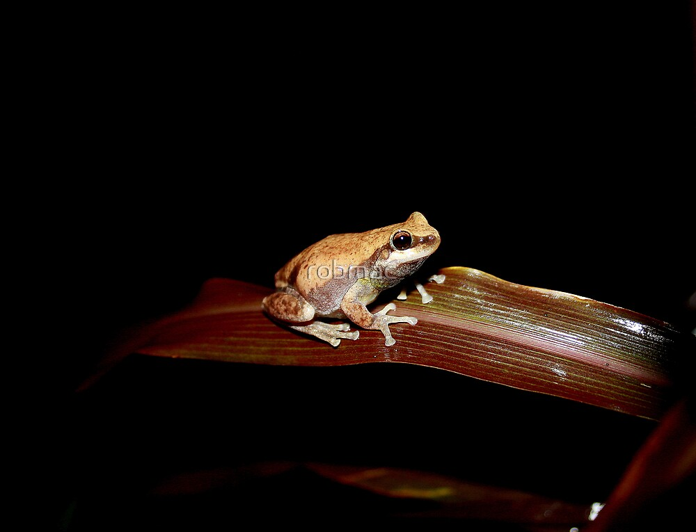 small brown frog by robmac