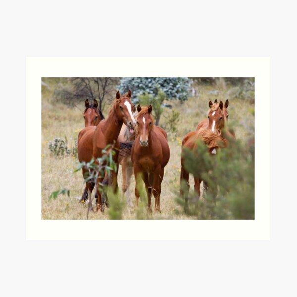 Wild Brumbies - Kosciuszko National Park, NSW Art Print