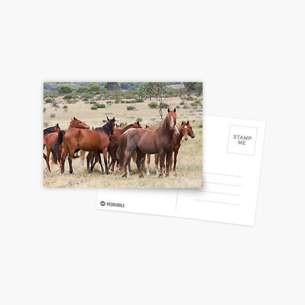 Wild Brumbies - Kosciuszko National Park, NSW Postcard