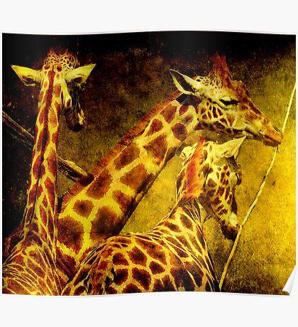 Giraffes galore Poster