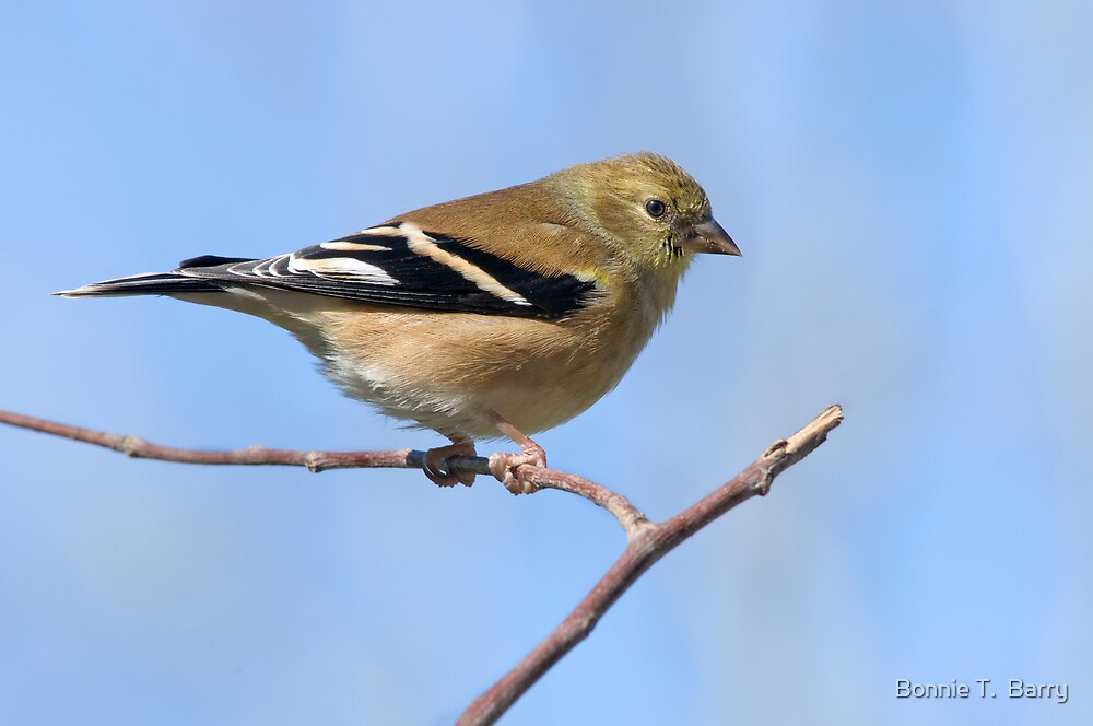 Goldfinch ready for take-off by Bonnie T.  Barry