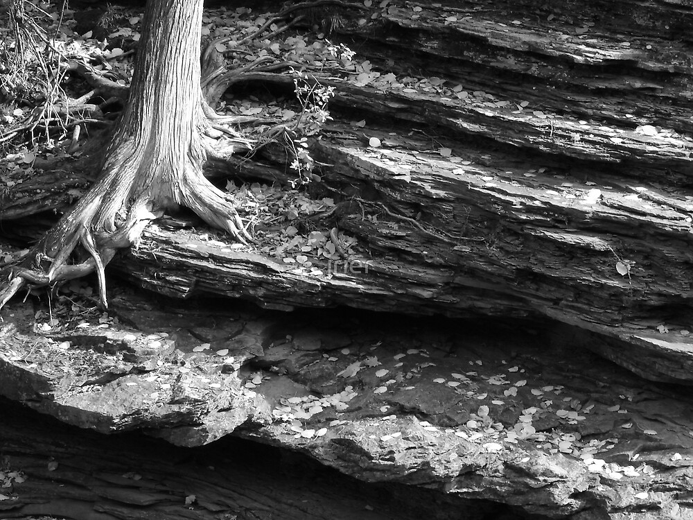 Cedar tree root and shale by jrier