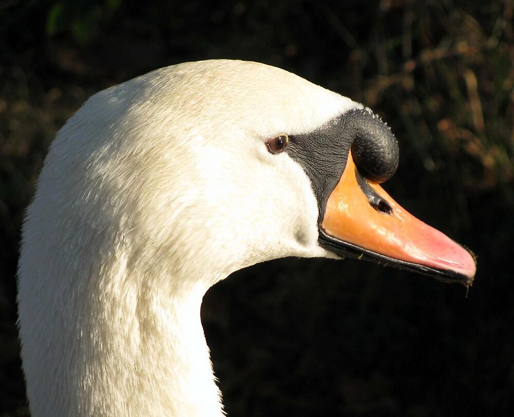 swan  by Caroline Anderson