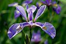 Iris by Stephen Beattie
