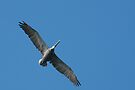 Pelican Flight by Anne-Marie Bokslag