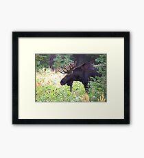 Bull Moose in Velvet Framed Print