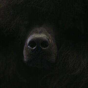 Poodle nose by skukucka