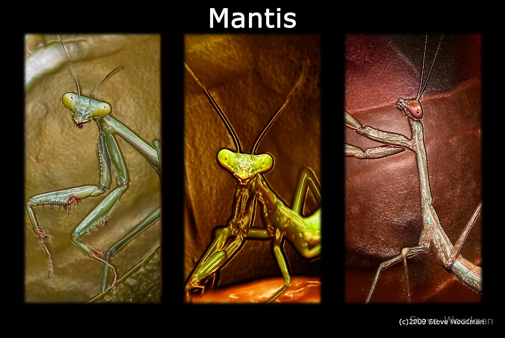 Mantis by Steve  Woodman