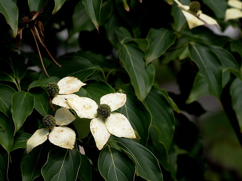 Kouza Dogwood from A Gardener's Notebook by Douglas E.  Welch
