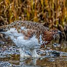 Thirsty Ptarmigan by akaurora