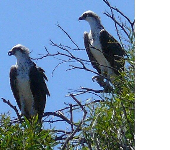 osprey eagles mum and bub by robinof