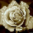 Sepia Rose by saseoche