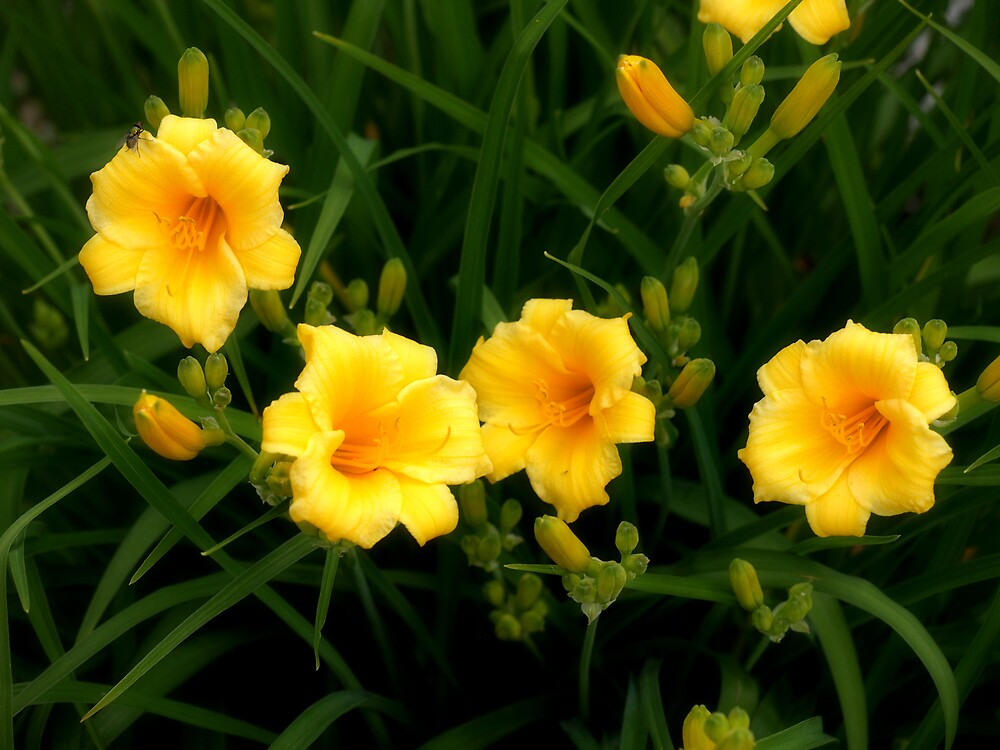 Backyard Lily by Mandy Keller