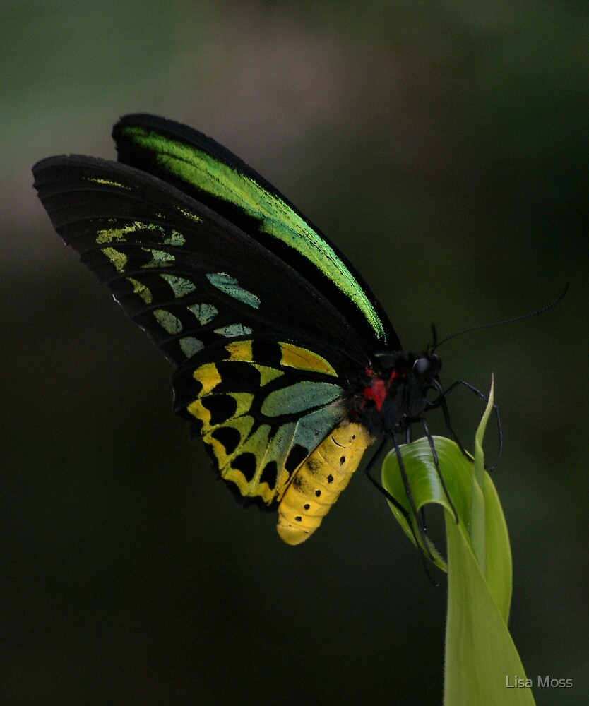 Butterfly by Lisa Moss