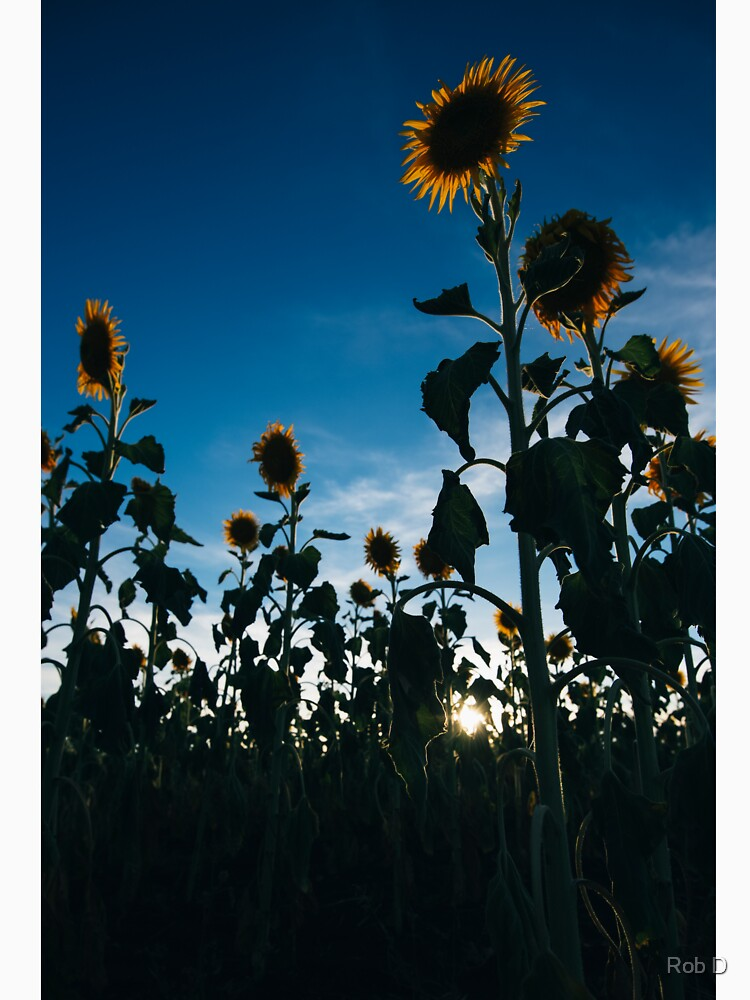 Sunflowers in a field in the afternoon. by artistrobd