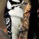 Downy Woodpecker (Male) by Bill Miller