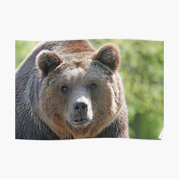 Bear, bear's face, forest bear, terrible bear, bear-to-beard Poster