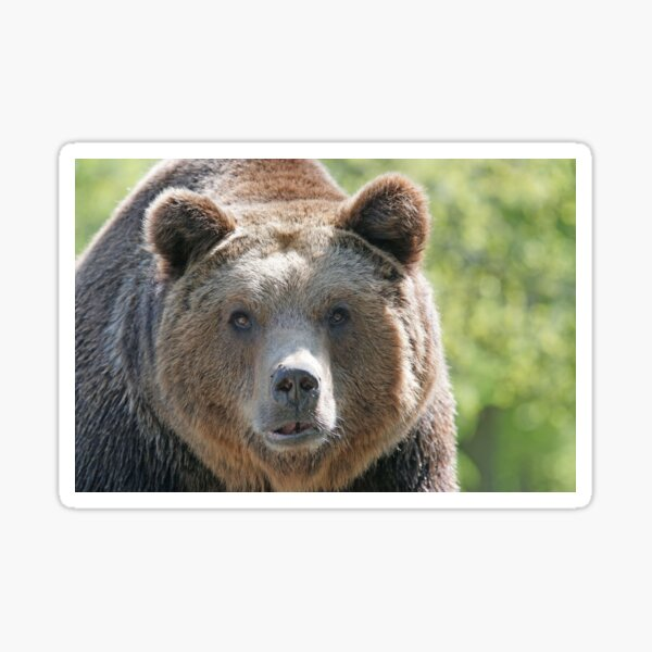 Bear, bear's face, forest bear, terrible bear, bear-to-beard Sticker