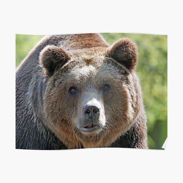 Bear's muzzle, terrible bear, brown bear, toed bear, bear Poster