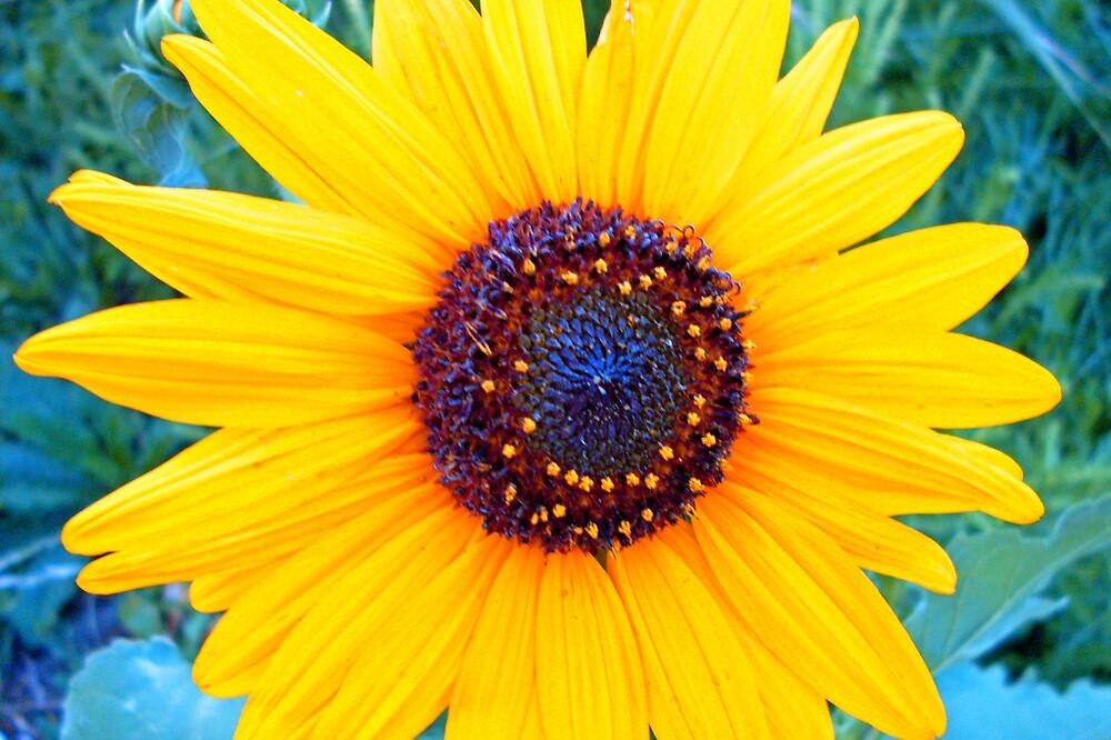 sunflower by Julie Gappmayer