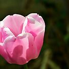 Tulpen by Erwin G. Kotzab