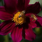 Bees in the Dahlias by Clare Colins