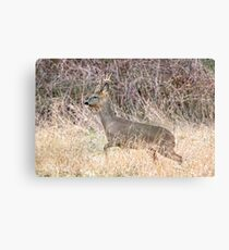 Deer With New Antlers. Canvas Print