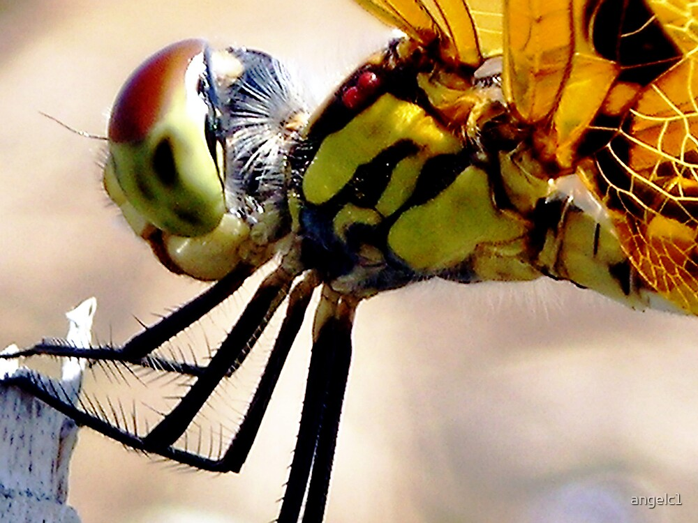 Dragon fly by angelc1