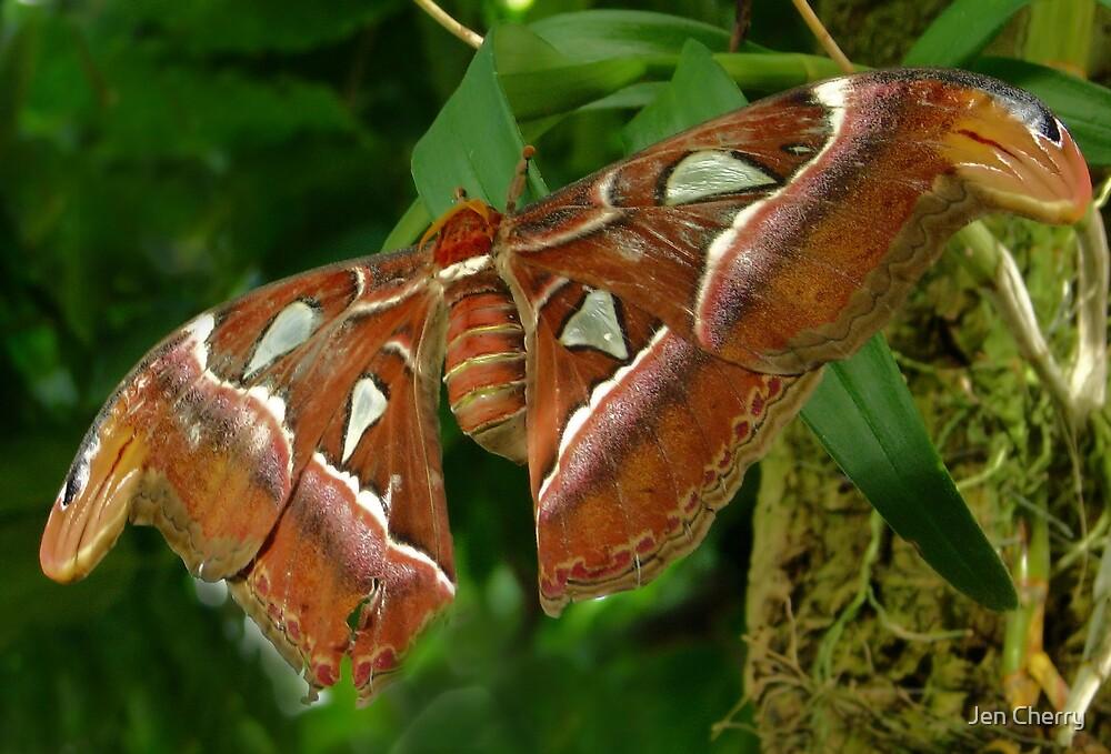 Atlas Moth by Jen Millard